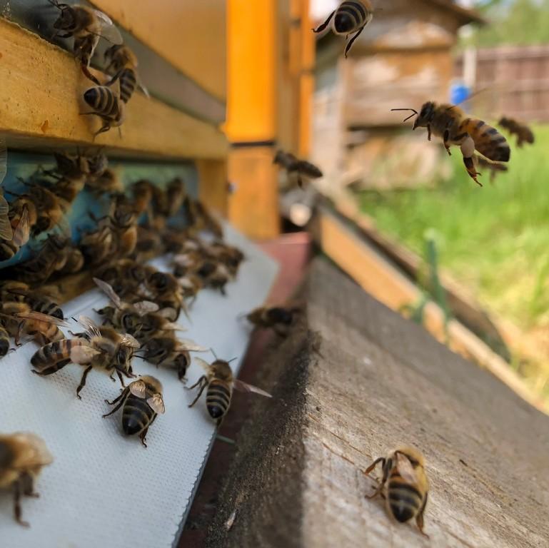 miód, pszczoły przy ulu